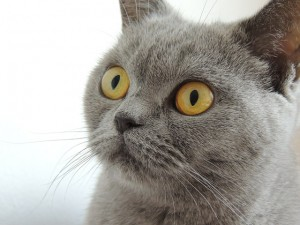 [image1] british-shorthair-bleu